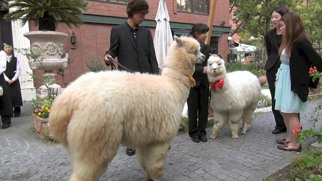 Pic shows: The zoo animal in the wedding. It is a weird wedding craze that could only happen in Japan – young couples are inviting Alpaca's as witnesses to their nuptials. The big furry white animals can normally be found in zoos but a hotel is offering the services of a well behaved one – along  with a trainer -  to walk down the aisle. It probably would not be every bride's cup of tea in Britain but in the Far East it is taking off as a popular wedding addition. Bizarrely, the  placid alpaca does not even hold any special place in Japanese society, it is not known as a symbol of peace and security in Japan's native Shinto or Buddhist religions. The reason for its popularity is simply that it looks cute and children think they are adorable. The animal is certainly proving a hit at the Hotel Epinard Nasu in the  Tochigi Prefecture. Luckily, the hotel has an unlimited supply of the creatures as it has a zoo next door and a trainer takes control of the animal for the walk down the aisle and during the wedding pictures. The inclusion of the fluffy animal, which is washed and groomed before the nuptials, is being seen as a break away from the more formal, ritual heavy Shinto weddings. (ends)