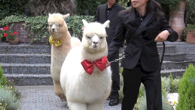 Pic shows: The zoo animals during the wedding. It is a weird wedding craze that could only happen in Japan – young couples are inviting Alpaca's as witnesses to their nuptials. The big furry white animals can normally be found in zoos but a hotel is offering the services of a well behaved one – along  with a trainer -  to walk down the aisle. It probably would not be every bride's cup of tea in Britain but in the Far East it is taking off as a popular wedding addition. Bizarrely, the  placid alpaca does not even hold any special place in Japanese society, it is not known as a symbol of peace and security in Japan's native Shinto or Buddhist religions. The reason for its popularity is simply that it looks cute and children think they are adorable. The animal is certainly proving a hit at the Hotel Epinard Nasu in the  Tochigi Prefecture. Luckily, the hotel has an unlimited supply of the creatures as it has a zoo next door and a trainer takes control of the animal for the walk down the aisle and during the wedding pictures. The inclusion of the fluffy animal, which is washed and groomed before the nuptials, is being seen as a break away from the more formal, ritual heavy Shinto weddings. (ends)