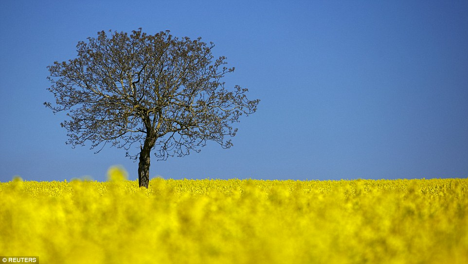 2A9E61C100000578-3165347-Seventh_A_tree_is_pictured_in_a_blooming_rapeseed_field_on_a_spr-a-1_1437145387367