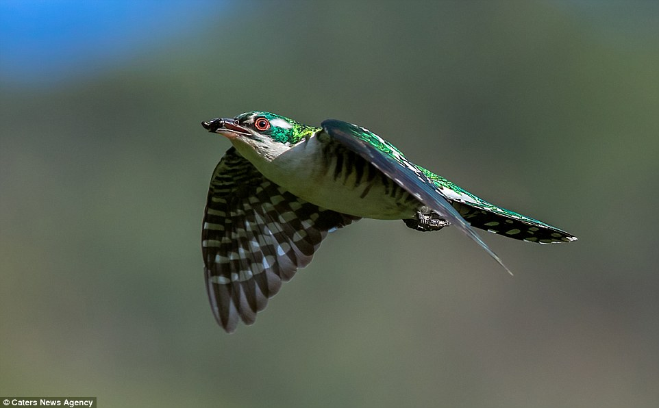 2BB2C4DC00000578-3212835-This_image_of_a_cuckoo_which_has_just_grabbed_an_insect_for_dinn-a-54_1440682195072