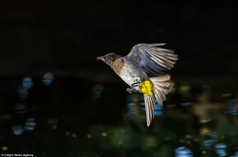 2BB2C54B00000578-3212835-Here_is_a_dark_capped_Bulbul_captured_mid_flight_with_its_feet_r-a-61_1440682195190 (2)
