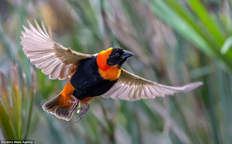 2BB2C55600000578-3212835-This_Southern_Red_Bishop_looks-a-58_1440682195157