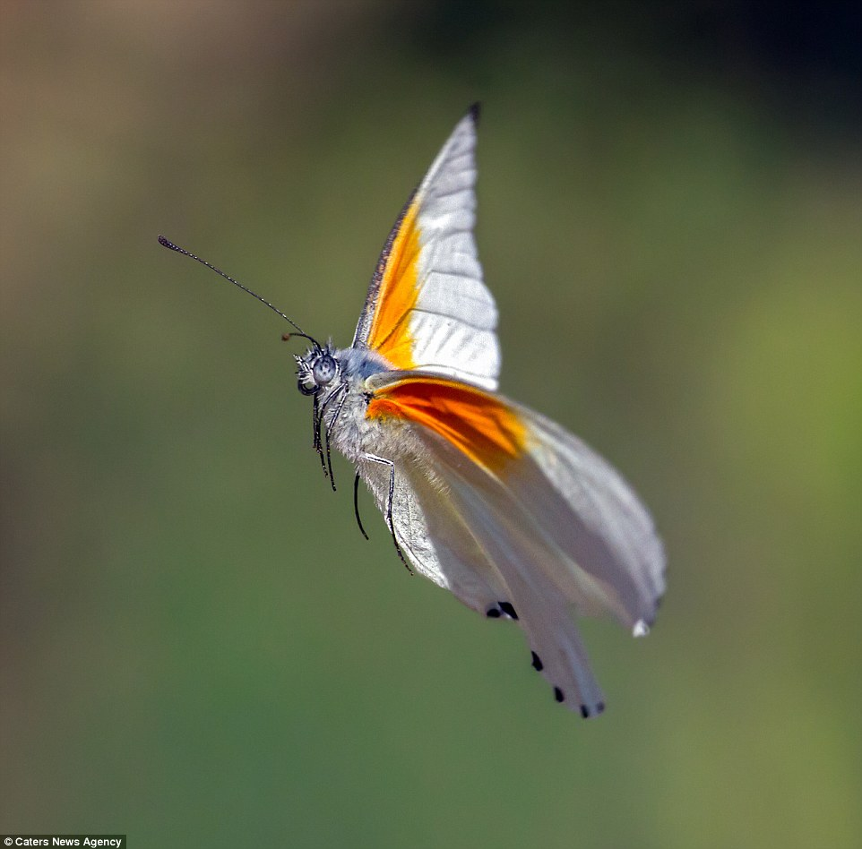 2BB2C5F300000578-3212835-butterfly-a-64_1440682195201