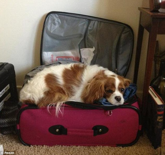 2BBBB60D00000578-3213977-The_owner_of_this_pooch_says_it_sits_on_the_case_every_time_they-m-10_1440769154933