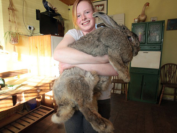 M and Y News Agency 30/03/13: Ralph, a five year old giant continental rabbit weighing nearly four stone and over three feet long, held by Cindy Winson (17) of Sussex Horse Rescue Trust, East Sussex, where he lives. Ralph is thought to be the largest Rabbit in the country.
