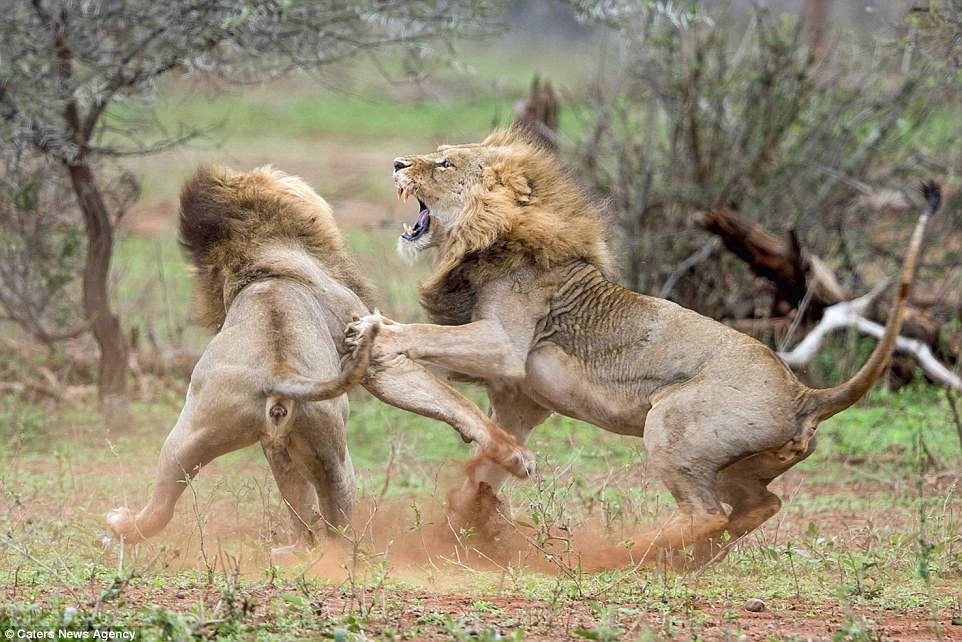 2C5F4F4000000578-0-The_fierce_battle_was_witnessed_by_Pieter_Meiring_a_photographer-a-151_1442399306654