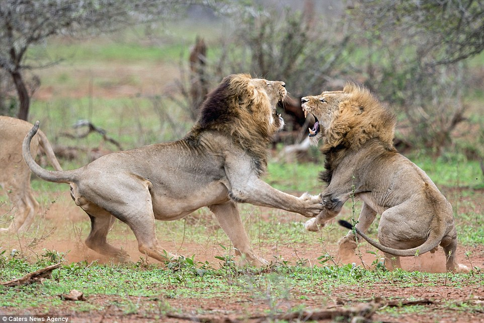 2C5F4F7500000578-0-The_two_lions_roughly_the_same_size_squared_up_in_a_fight_over_t-a-152_1442399306662