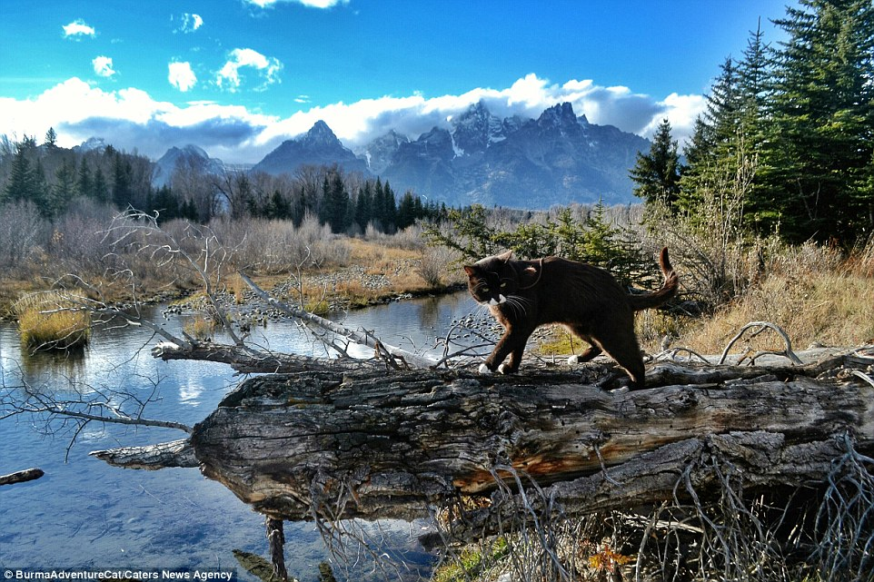2D96EB8D00000578-3281012-Burma_the_adventure_cat_strides_along_a_log_in_the_Grand_Teton_N-a-20_1445349629381