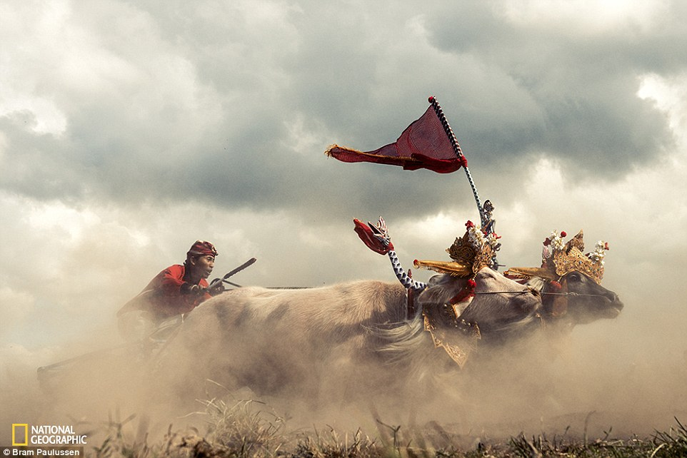 2DD7510800000578-3291921-Traditional_buffalo_racing_in_west_Bali_Hundreds_of_pairs_of_buf-a-67_1445962329731