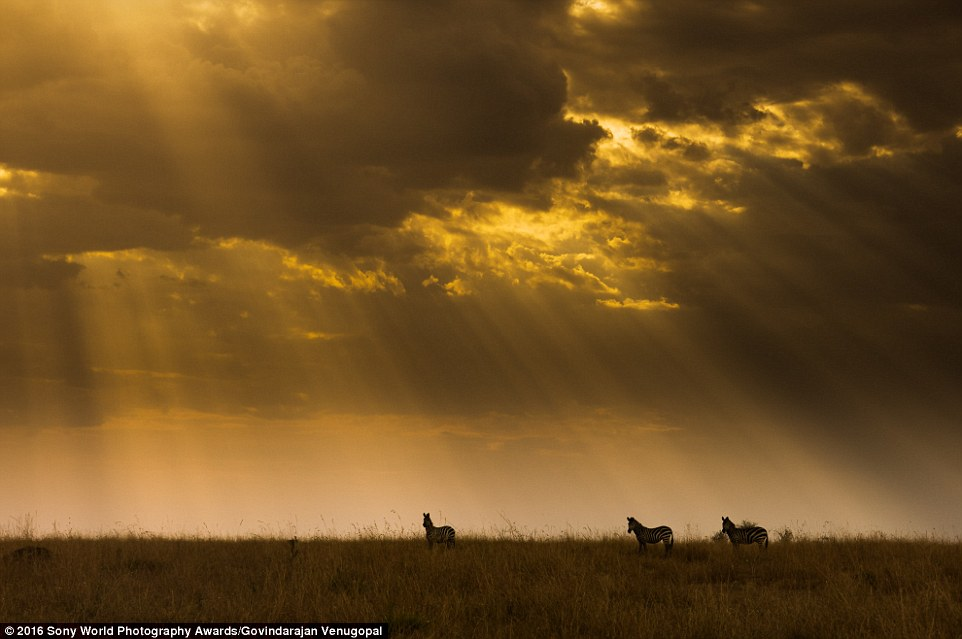 2DF2969300000578-3296769-Govindarajan_Venugopal_from_India_submitted_his_image_of_zebras_-a-19_1446221927295