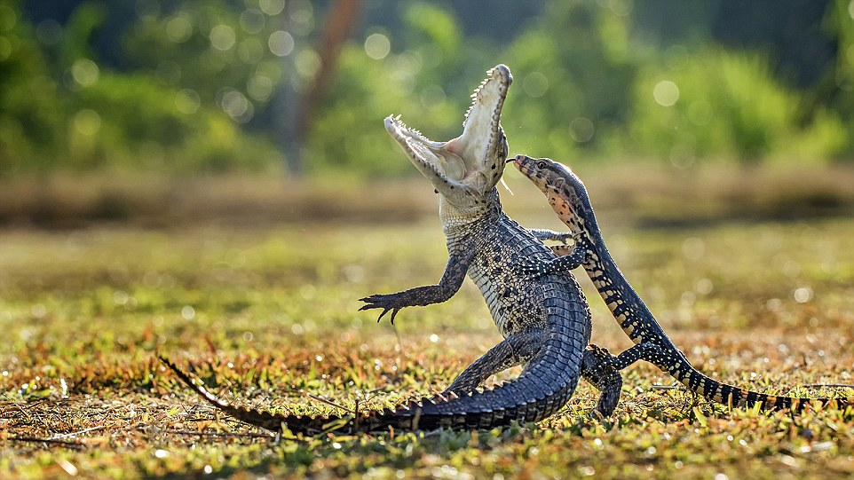 I captured this photo of a crocodile and lizard battling. The crocodile was sunbathing when the lizard suddenly attacked.