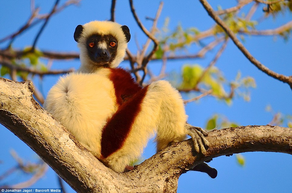 3104462600000578-3438624-An_endangered_sifaka_a_type_of_lemur_poses_on_the_branch_of_a_tr-a-63_1455017325095