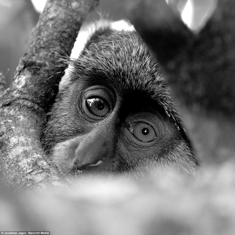 3104470300000578-3438624-A_black_and_white_shot_of_a_monkey_is_pictured_on_November_24_20-a-73_1455017325332
