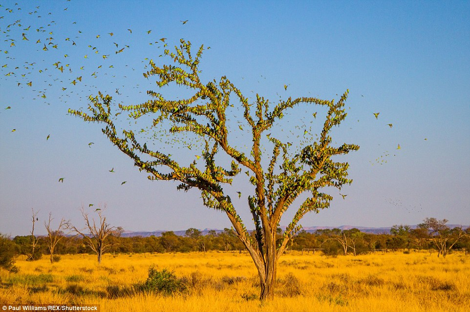 314F5E4E00000578-3451068-Tens_and_thousands_of_colourful_budgies_were_spotted_in_the_Aust-a-12_1455716557600