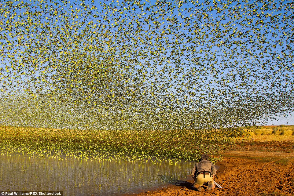 314F5FAA00000578-3451068-Thousands_of_colourful_budgies_flocked_into_the_shrinking_water_-a-11_1455716557599