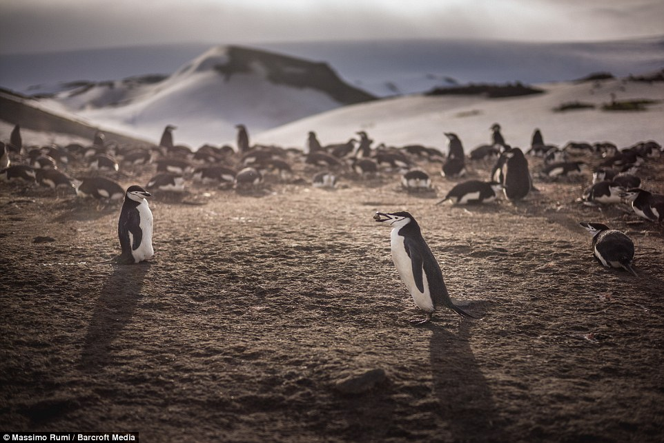 318AD97A00000578-3463605-Mr_Rumi_said_the_Gentoo_penguins_were_friendly_and_inquisitive-a-44_1456404051805