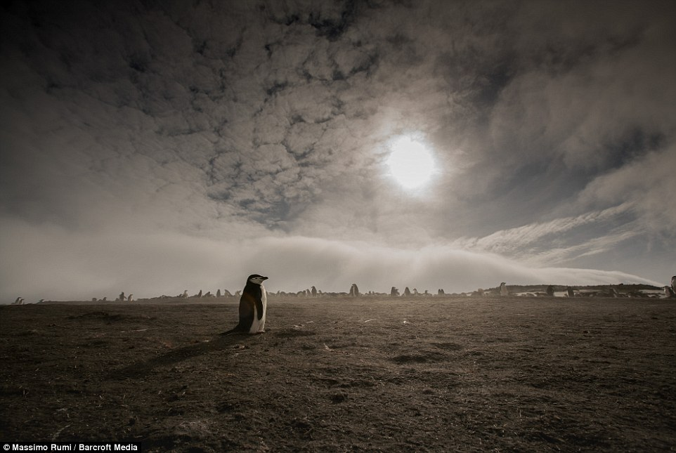 318AE04900000578-3463605-A_baby_penguin_stands_alone_as_Rumi_takes_his_picture_with_the_s-a-49_1456404052089